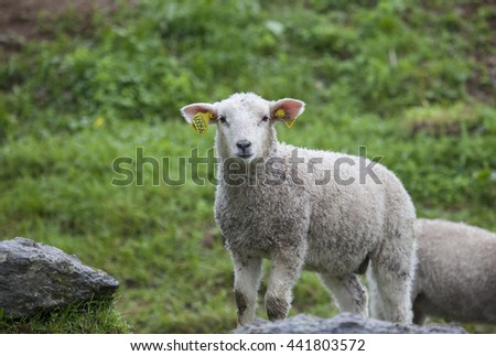 A lamb in a meadow.Northern Norway.SEnja - stock photo