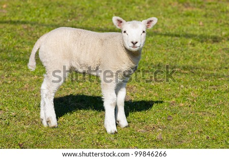 A lamb on a field of grass - stock photo