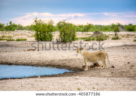 A landscape of lioness standing next to a water source, like a dam or river, while looking up, almost like she got a scent in the air. - stock photo