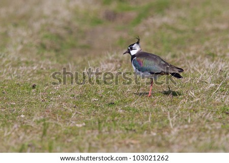 A lapwing is standing in a field