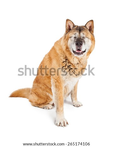 A large adult Akita breed dog that is blind with both eyes surgically removed