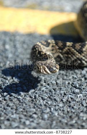 A large adult eastern diamondback rattlesnake crossing the street. - stock photo