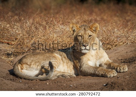 A large adult lioness stares into the camera as she lies down on the dry dusty earth at Mashatu Game Reserve in Botswana. - stock photo
