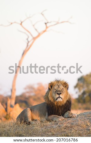 A large adult male lion lying in the late afternoon sunlight in Hwange National Park's Ngweshla Pan area - stock photo