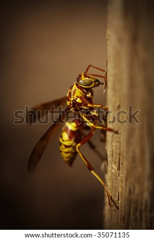 A large and angry wasp on a wooden surface - stock photo