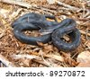 A large and shiny black snake coiled defensively - Rat Snake, Pantherophis obsoleta - stock photo
