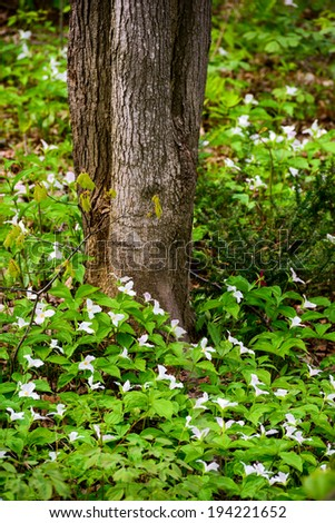 A large bed of white trilliums blooming at the base of a tree.  Trillium grandiflorum is the official emblem of the Province of Ontario and the State Wildflower of Ohio.  - stock photo