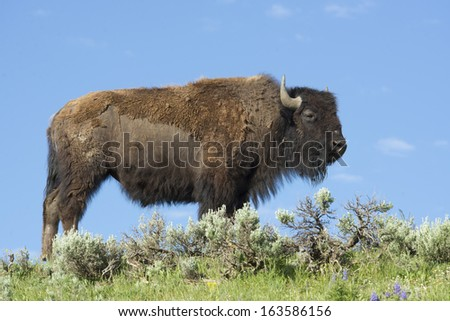 A large Bison stands on top of a hill. - stock photo