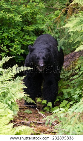 A large black bear emerges from the rainforest