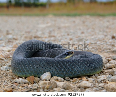 A large blue, black and yellow snake coiled on a gravel road - Eastern Yellow-bellied Racer, Coluber constrictor flaviventris - stock photo