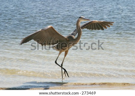 A large blue heron on the shore, spreading his wings preparing to fly away.
