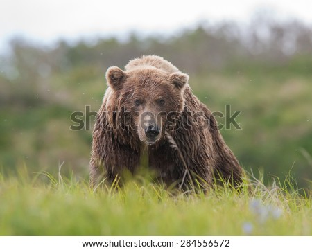 A large brown bear coming over a rise toward photographer - stock photo