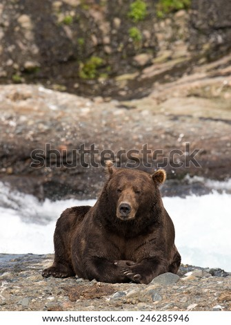 A large brown bear waiting patently for salmon to come to him - stock photo