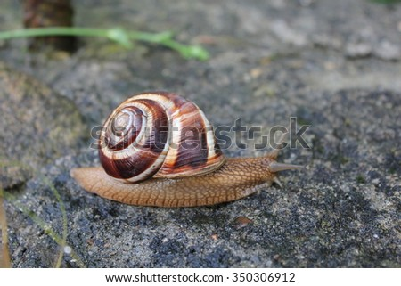 A large brown snail crawling on a stone