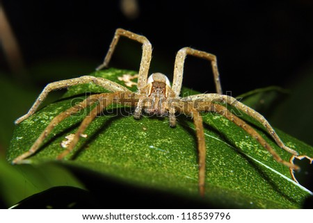 A large brown wolf spider spread out on a leaf