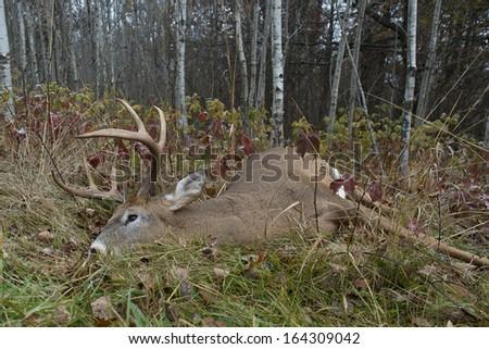 A large buck taken during deer season - stock photo