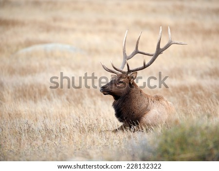 A large bull North American elk resting in an open meadow during the rut in Rocky Mountain National Park in Colorado. - stock photo