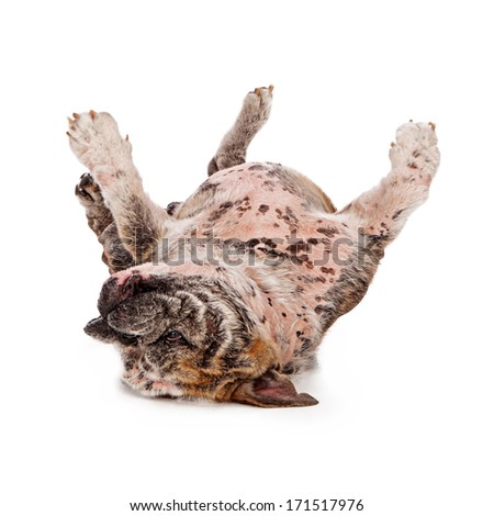 A large bulldog that has missing fur due to a skin disorder rolling on his back to scratch an itch - stock photo