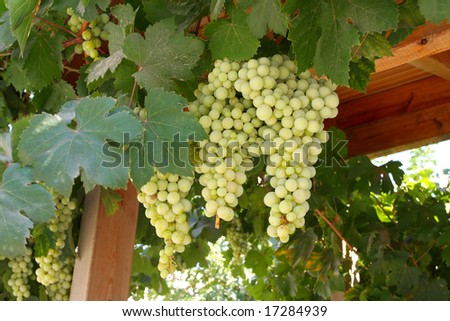 A large bunch of grapes on the island of Crete. Greece - stock photo