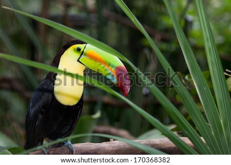 A large colorful toucan sitting on a branch and peaking through a fanned opening in a palm plant. - stock photo