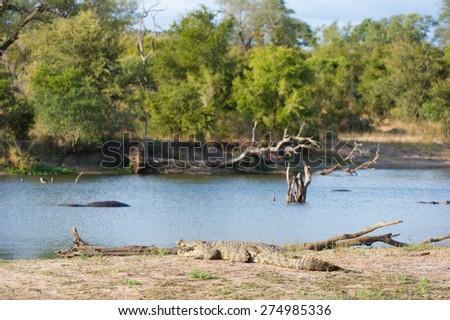 A large crocodile sunning itself on the bank of a waterhole - stock photo