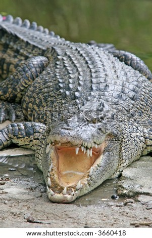 A large crocodile waits in the sun with its mouth open - stock photo