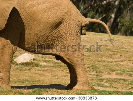 A large elephant taking a large pooh in a zoo - stock photo