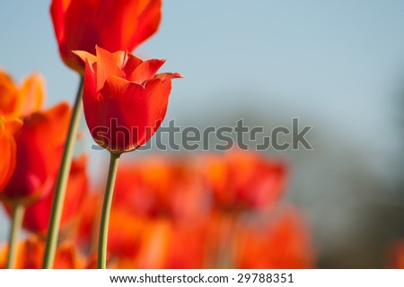 A large field of blooming, colorful tulips, planted in rows. - stock photo