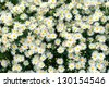 a large field of daisies - stock photo