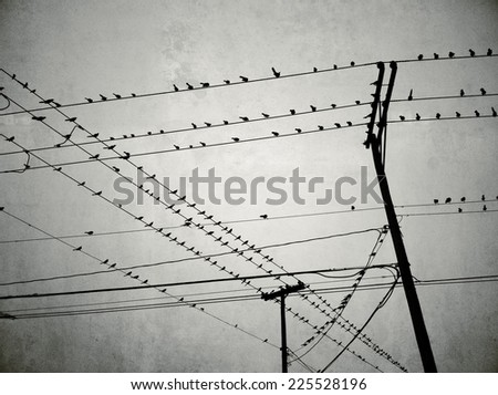A large flock of birds setting on a group of high wires. - stock photo