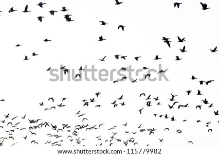 a large flock of geese silhouetted against the sky - stock photo