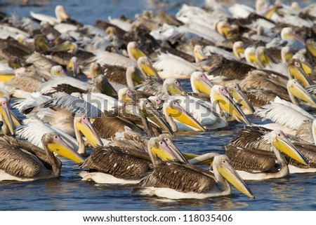 A large flock of pelicans fishing in Mamili National Park, Namibia - stock photo
