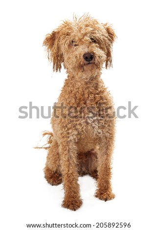 A large Golden Doodle Mixed Breed rescue dog with a messy face  - stock photo
