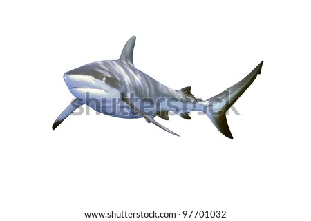 a large grey reef shark, Carcharhinus amblyrhynchos, showing the mouth and teeth and isolated on white background - stock photo