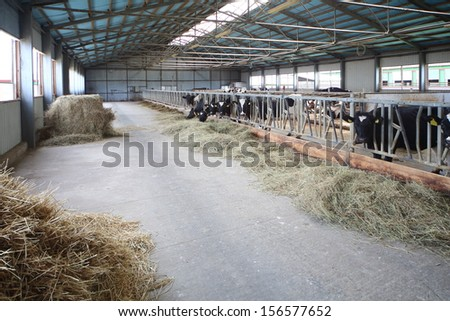 A large hangar with cows on the dairy farm - stock photo