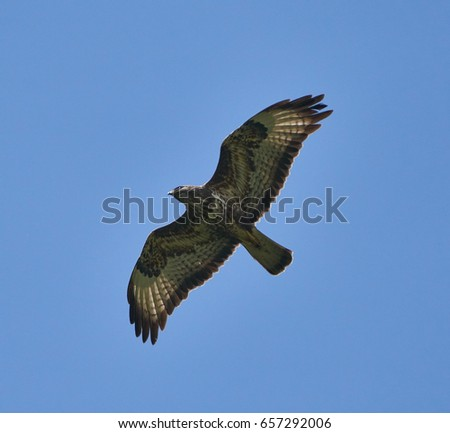 A large hawk gliding on clear blue sky