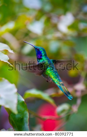 A large humming bird hovers to inspect a flower.