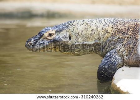 A large Komodo dragon, Varanus komodoensis, approaching the water for drinking - stock photo