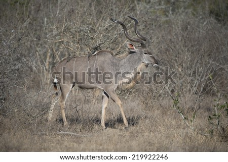 A large Kudu Bull appears out of the Forest - stock photo