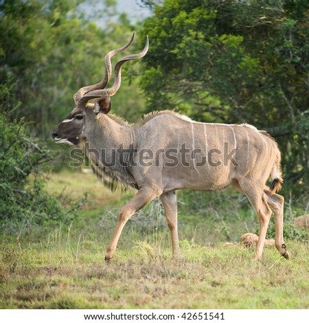 A large Kudu Bull in Square Format