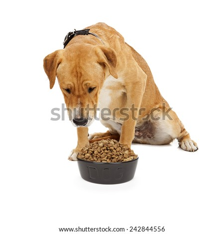 A large Labrador mixed breed dog looking down at a heaping bowl of dog food - stock photo