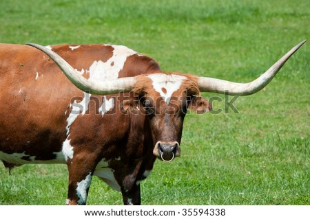 A large longhorn bull in a green field - stock photo