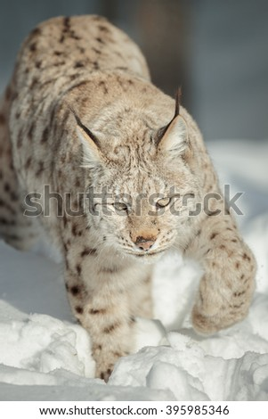 A large Lynx prowls towards the camera. - stock photo