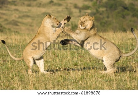 A large male and female lion mock fighting in Kenya's Masai Mara - stock photo