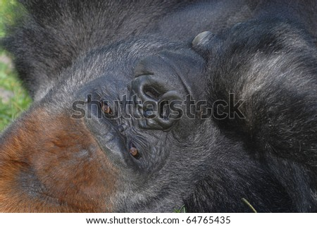 A large male lays on his back and stares directly into the photographers lens. - stock photo