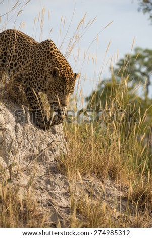 A large male leopard on the prowl in golden grass - stock photo