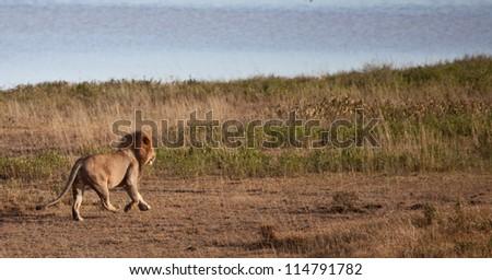 A large male lion runs across the Savannah next to a lake. Serengeti National Park, Tanzania. - stock photo