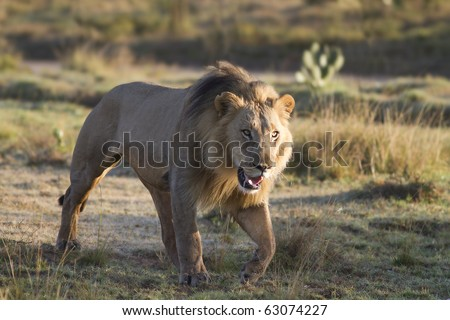 A large male lion stalks its prey in the early morning.