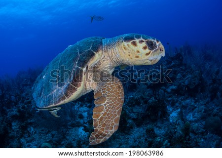 A large male Loggerhead turtle (Caretta caretta) cruises over a coral reef off Turneffe Atoll in Belize. This endangered turtle is relatively common in Caribbean region but found throughout the world. - stock photo