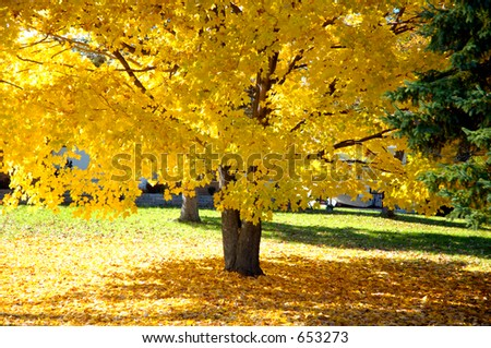 A Large Maple Tree In Fall Color